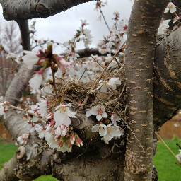 nest japanesefloweringcherrytree cherryblosoms