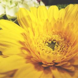 freetoedit flowers yellow peddles myphotography