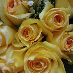 roses yellowroses yellow iloveyellow beautiful