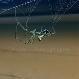 freetoedit marionettespider spider orbweaver beautifulnaturecolors