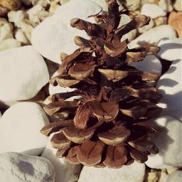 stone white brow pinecone