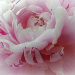 flower peony pink vignette myphoto freetoedit