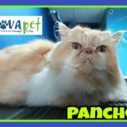 pancho novapetcr groomingcat