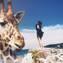 freetoedit jiraffe jirafa animals surreal