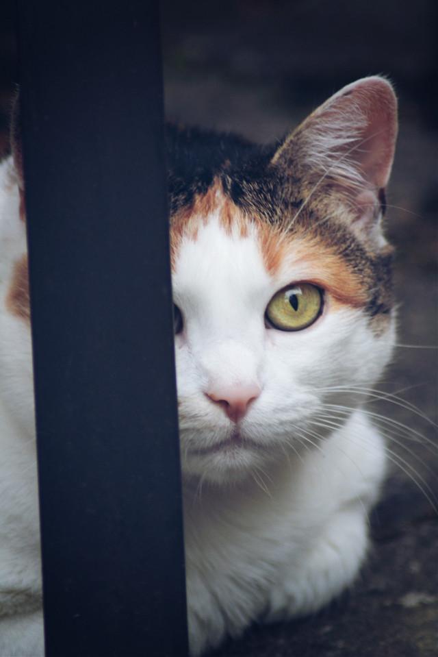 #mycat #freetoedit  #pcpets #pets