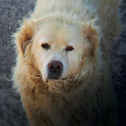 freetoedit dog doglover whitedog shepherd