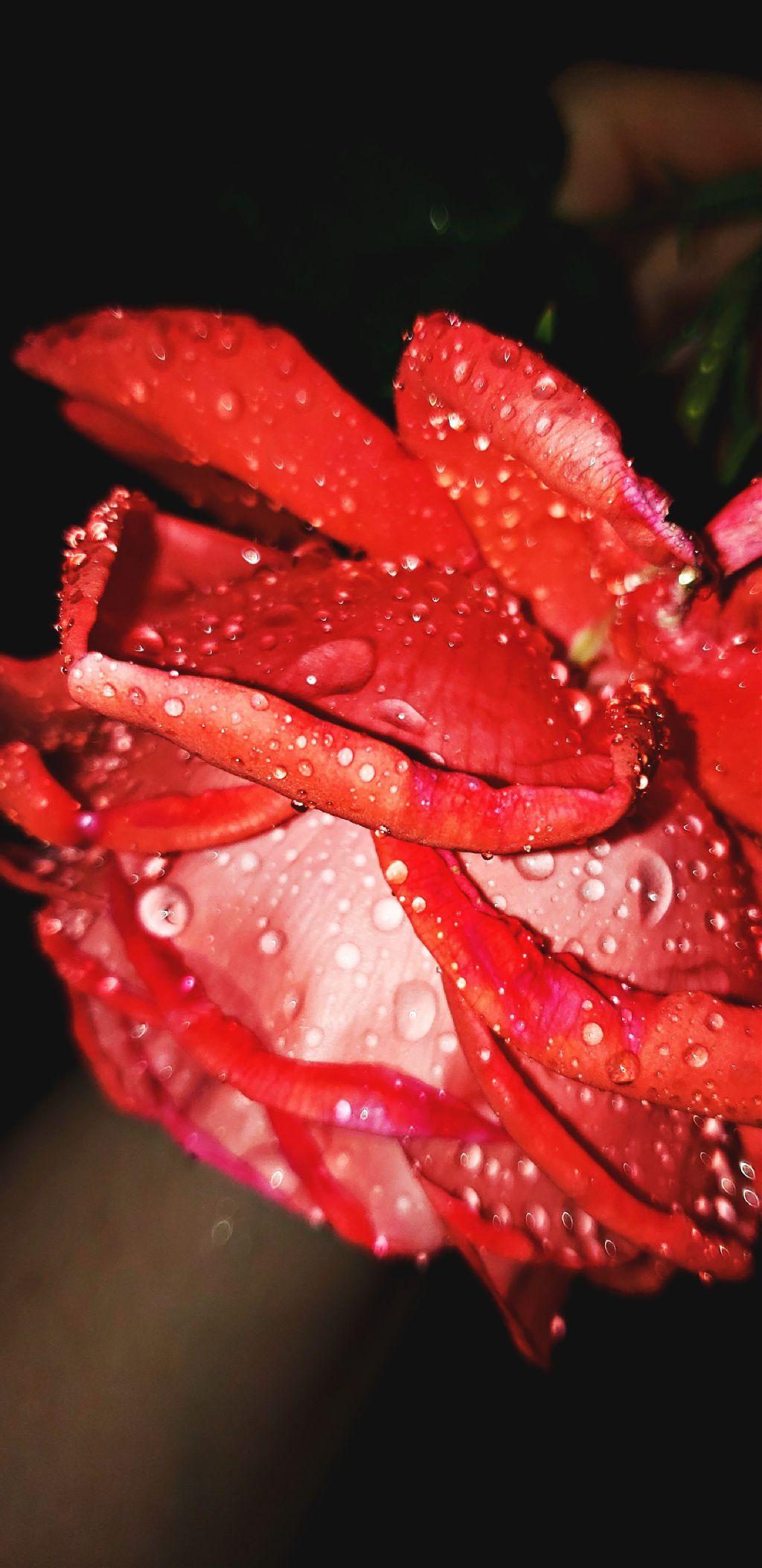 #dew #rose #oregon #rain #pnw #pnwlife #photography