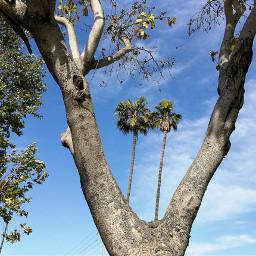 palmtrees palms clouds bluesky blueskyandclouds