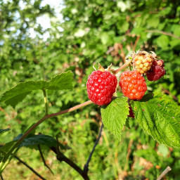 freetoedit raspberries berries redberries red pcfruits pcstilllifephotography