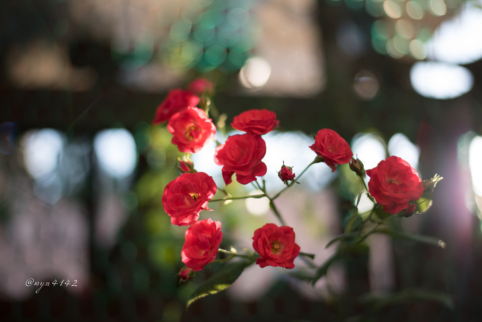 #backlight #roses