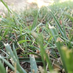 freetoedit grassy pcgrass grass