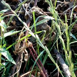 freetoedit grassflower grass pcgrass
