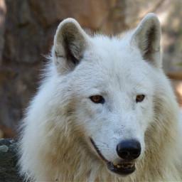 photobypepperoni2 freetoedit wolf