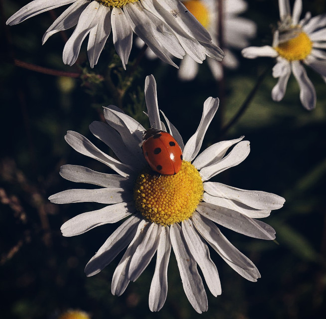 Just liked this ladybird and daisy #nature  #flower #daisy #ladybird #closeup #adjusttool #blackandwhite #outandabout