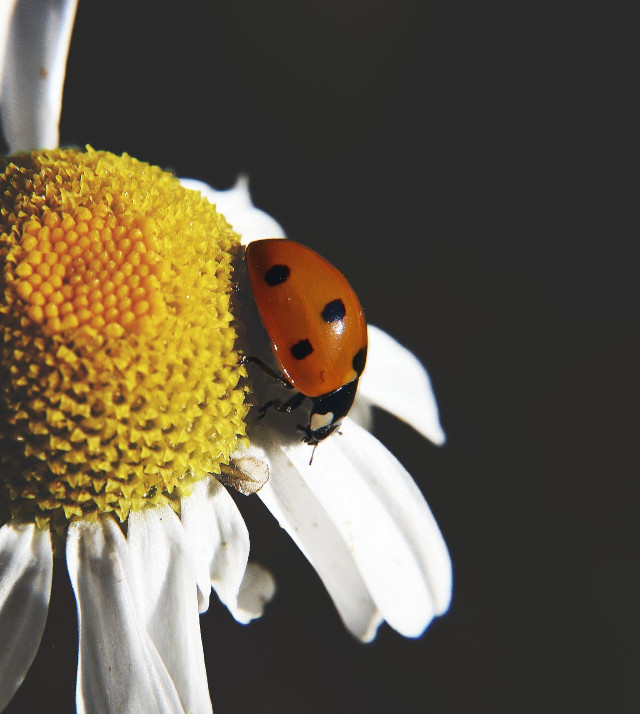Spotted this little ladybird 🐞 #nature #ladybird #daisy #flower #closeup #dramaeffect
