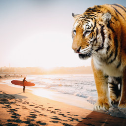 freetoedit giantanimal tiger beach surf