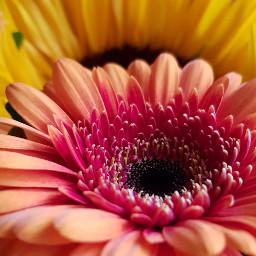 sunflower gerbera flowers yellow orange