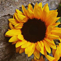 flower sunflower hdr2 adjusttool outandabout freetoedit