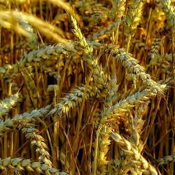 freetoedit macro cereal nature