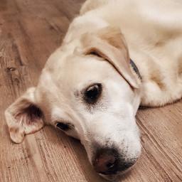 freetoedit dog labrador love dogsofpicsart pcface