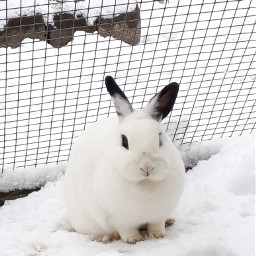 freetoedit rabbits cute snow white pcpets