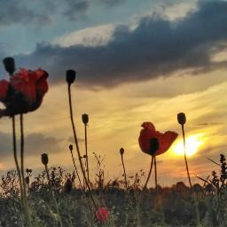 freetoedit nikond5300 photography flower poppy