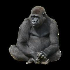 ftesticker gorilla gorillaz monkey animals