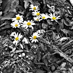 blackandwhite flowers margerites yellow