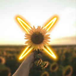 freetoedit ircsunflowersgalore sunflowersgalore