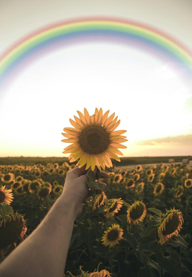 #freetoedit #rainbow #sunflower #photography