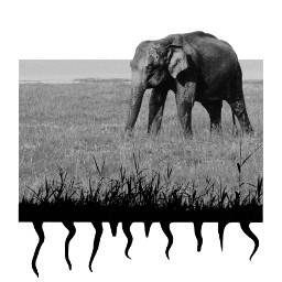 freetoedit blackandwhite border elephant ircelephant
