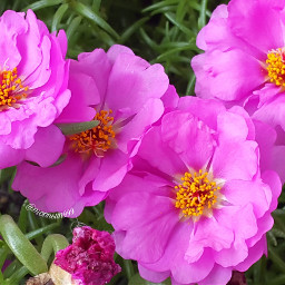 freetoedit photography myclick mygarden flowers