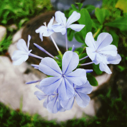 freetoedit plumbago flowers beautyinnature myoriginalphoto