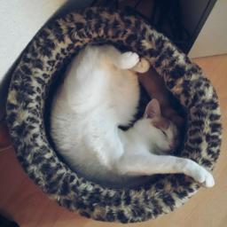 cat sleeping yogacat cuteness pccats