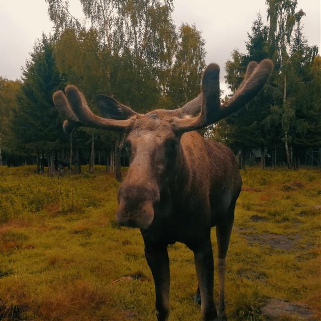 #freetoedit #moose #animal #nature #beautiful #cute #sweden #travel