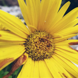 freetoedit flower peddles yellow myphotography