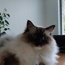 photography lazycat ragdoll cat