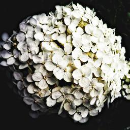 flower hydrangea dramaeffect hdr2 cropped freetoedit