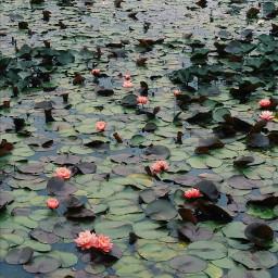 water lilypad flower green pink