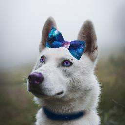 freetoedit dog srcgalaxybowtie galaxybowtie