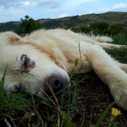 freetoedit dog whitedog shepherd animals