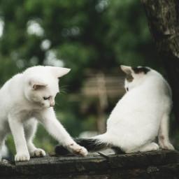 freetoedit kitten kittenplay cute