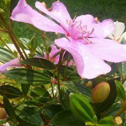 flower pinkflower myphotography flowerphotography unedited