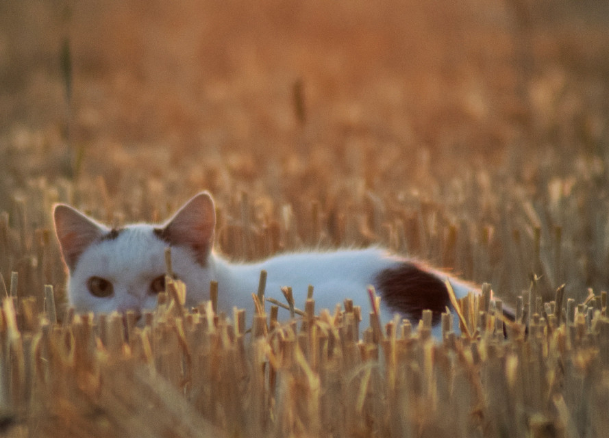 hello kitty 😉😁 #freetoedit #nikond5300 #unedited #photography #petsandanimals #september #cat #goldenhour