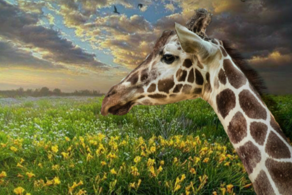 #freetoedit #italy #sicily #giraffa #nature