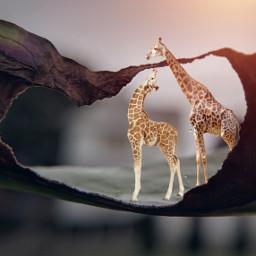 freetoedit giraffe love cave