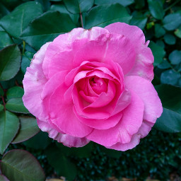 freetoedit flower rose rosesarebeautiful nature