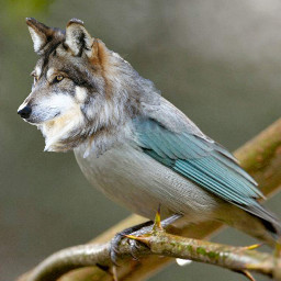 beautifulbirthmarks wolf animals artistc