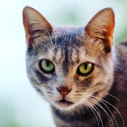 freetoedit pcpetsofpicsart cat portrait