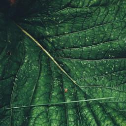 myphotography green leave leaf nature freetoedit